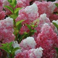 "гортензия метельчатая ""Vanille fraise"""