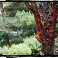 фото крона дерева_слива пильчатая