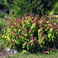Spiraea_japonica _Macrophylla
