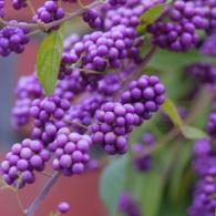 фото крона дерева_красивоплодник