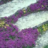 Thymus serpyllum_foto