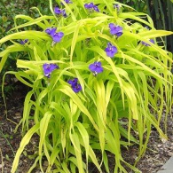 Tradescantia_Sweet_Kate