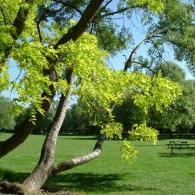 Декоративные деревья в саду
