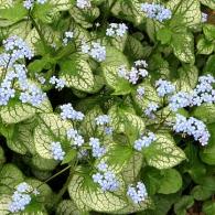 Brunnera-macrophylla