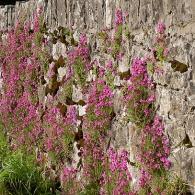 цветы на подпорной стенке