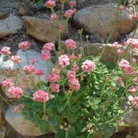 island_buckwheat_in-rock_wall