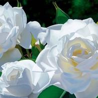_white_rose_garden