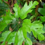 Schefflera-octophylla