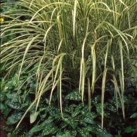 Miscanthus sinensis  'Zebrina'