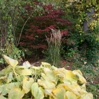 Calamagrostis acutiflora