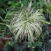 Carex morrowii  'Everbright'