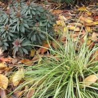Carex morrowii&euphorbia