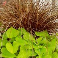 Carex testacea&ipomea