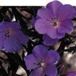 герань луговая 'Purple Haze'_фото