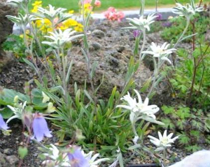 эдельвейсы в альпинарии_фото