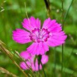 гвоздики в саду_фото