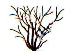 обрезка спиреи летнецветущей_схема