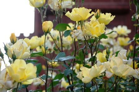 розы для начинающих_фото
