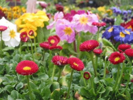 двулетние цветы_фото