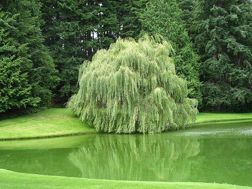 дерево ива_фото