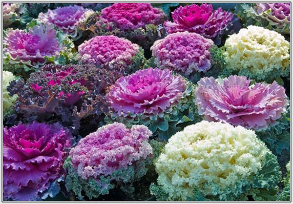 Decorative cabbage_декоративная капуста