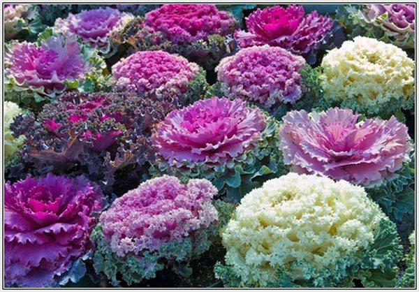 Decorative cabbage_декоративная капуста