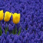 мускари и тюльпаны