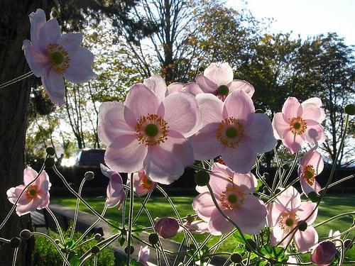анемона японская_Anemone japonica