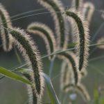 декоративные травы в саду