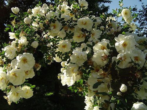 роза бедренцеволистная_фото