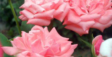 причина отсутствия цветения у роз