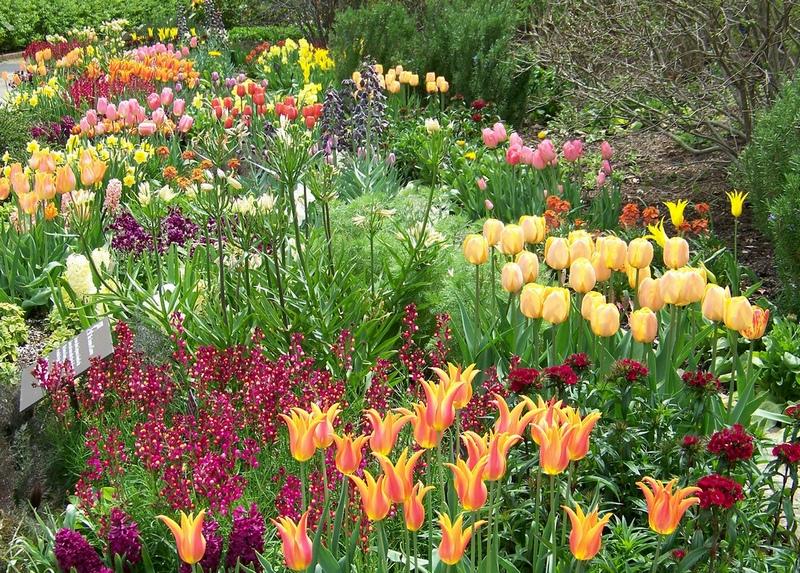 фото луковичных цветов в миксбордере