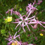 Лихнис, или Кукушкин цвет