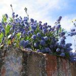 голубые цветы на подпорной стенке