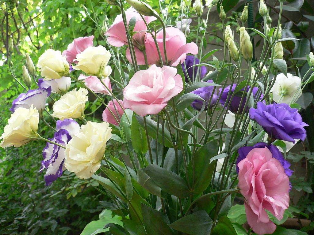 Фото нежные розовые розы