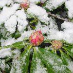 рододендрон зимовка