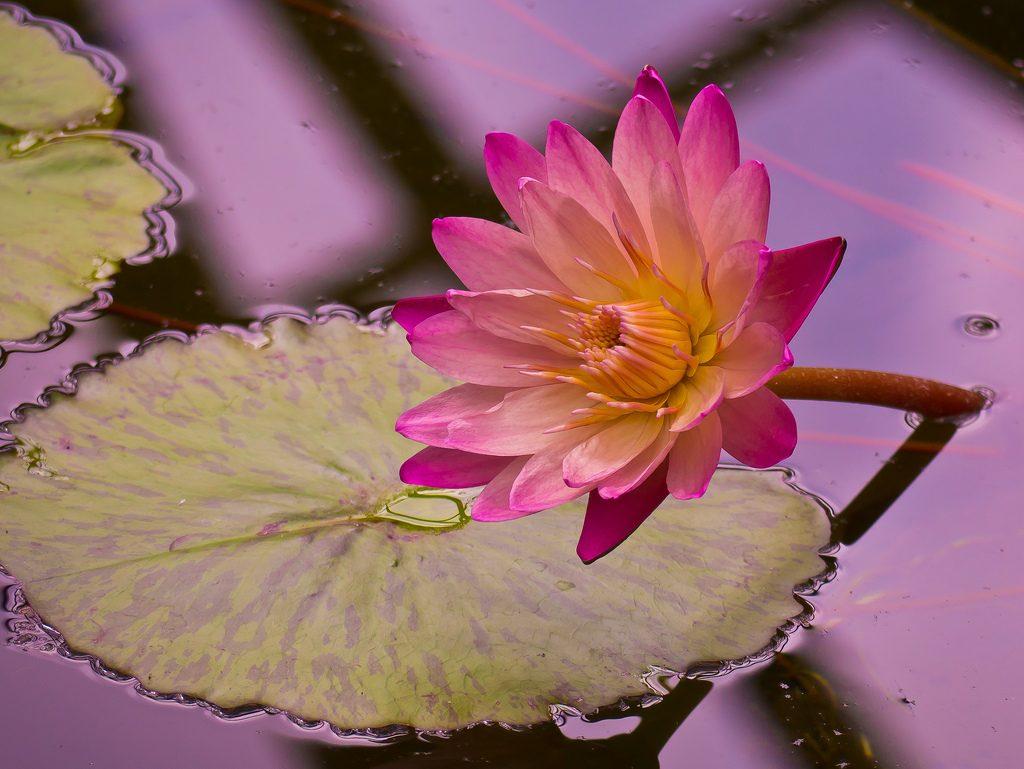 Водяная звездочка растения для водоемов