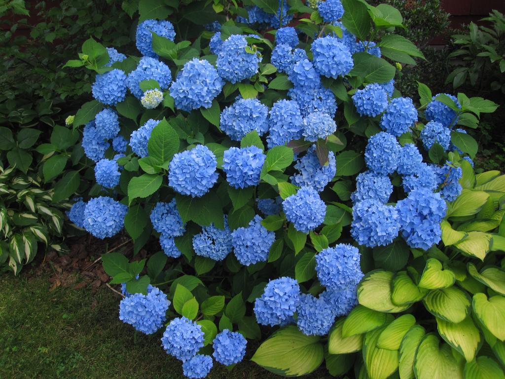 Голубая гортензия садовая