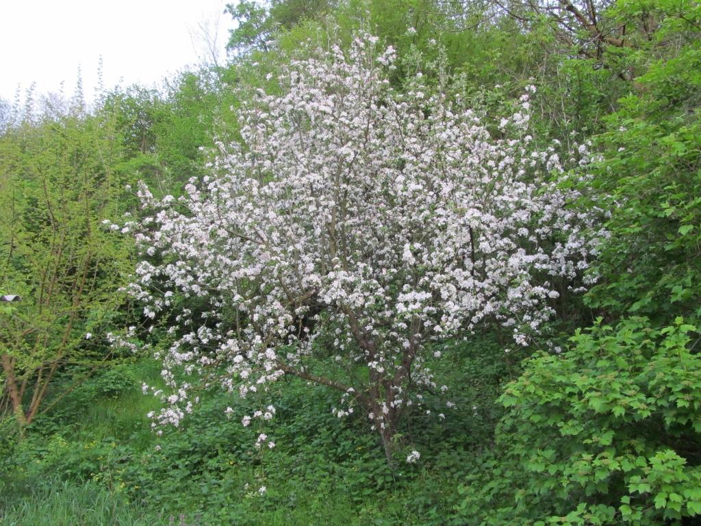 дерево нуждающееся в омоложении кроны