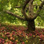 старая яблоня