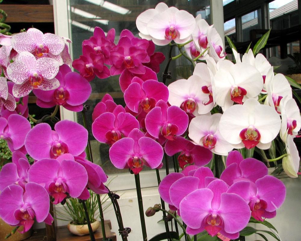 когда цветет орхидея уход в домашних условиях фото