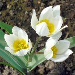 тюльпан ботанический Полихрома фото