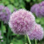 Allium elatum