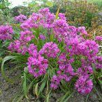Allium ostrovskianum