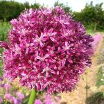 allium trautvetteranum