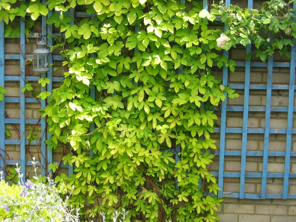 Humulus lupulus 'Aurea'