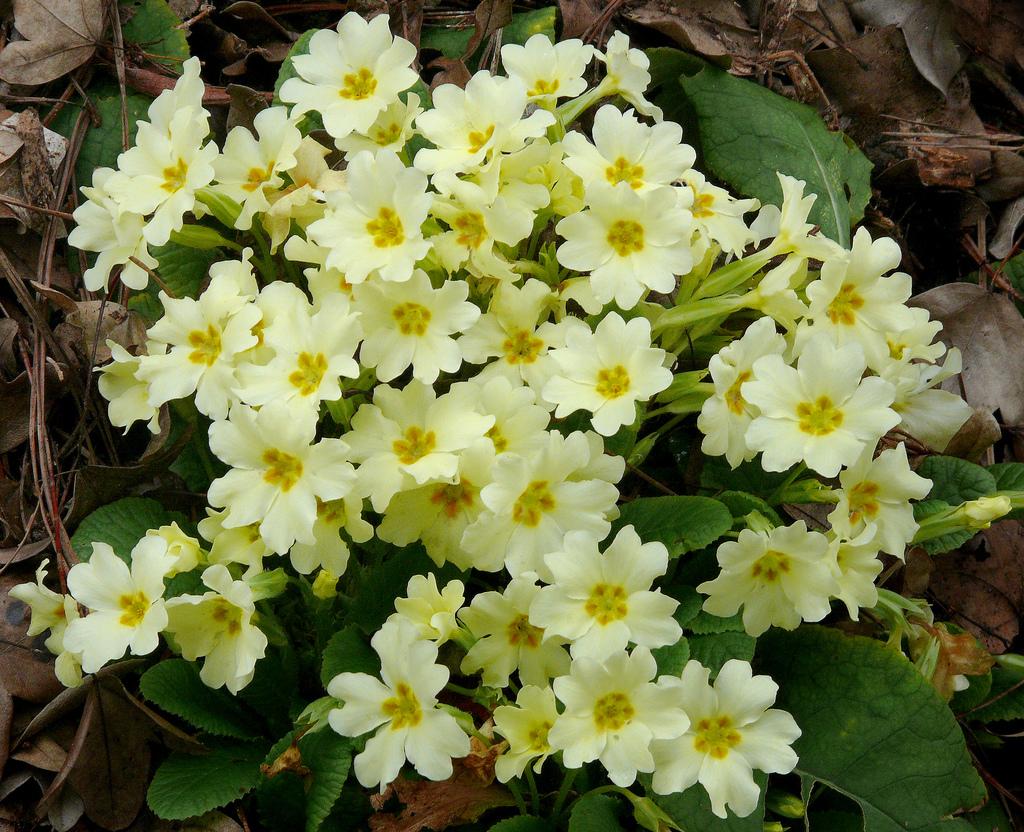 Примула обыкновенная (Primula vulgaris)