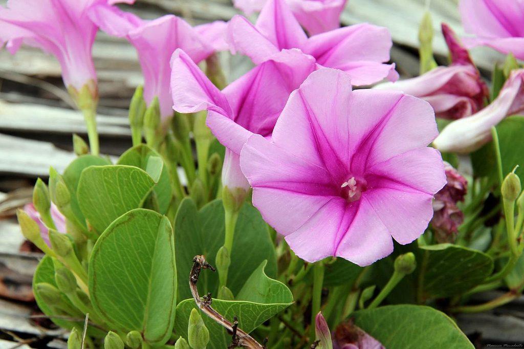 Виды и выращивание однолетней ипомеи в саду