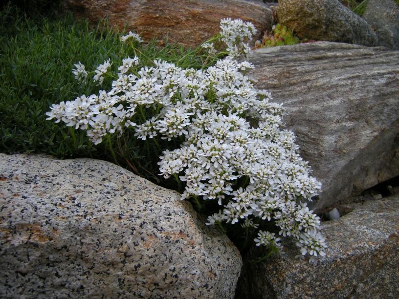 иберис скальный фото