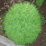 кохия веничная из семян